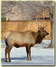 Elk in the Planet Bluegrass campground